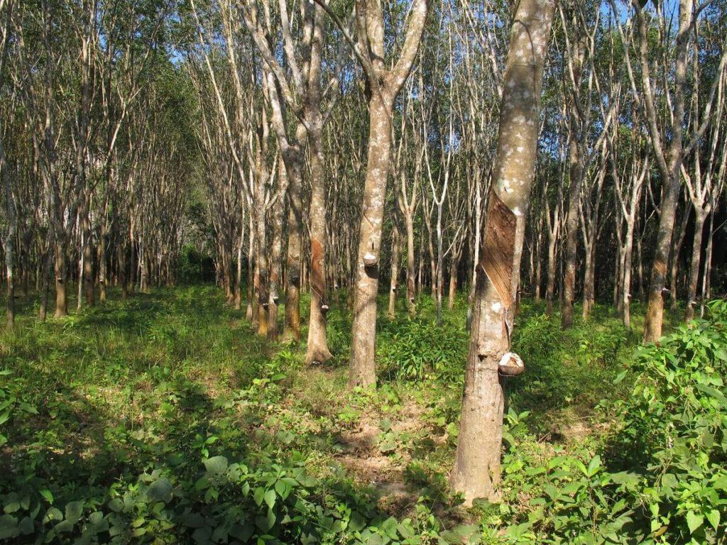 Гевея дерево